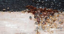 Common Signs of Bed Bug Infestations